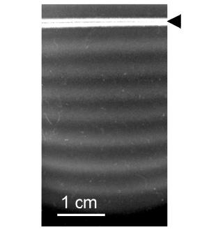 Рис.2. Полосатая колония, образованная бактериями, посеянными вдоль прямого отрезка (отмечен стрелочкой). Изображение из дополнительных материалов к обсуждаемой статье в Science