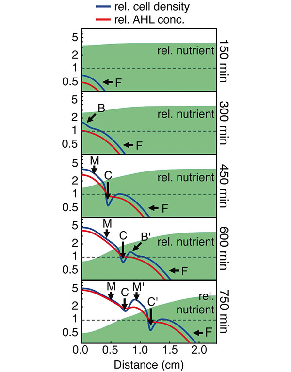 Рис.3. Механизм образования полос впроцессе роста колонии модифицированных бактерий. Рисунок из обсуждаемой статьи в Science