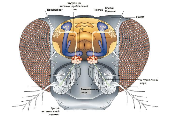 Рис. 2. Схема нервных связей, обеспечивающих дрозофиле восприятие запахов