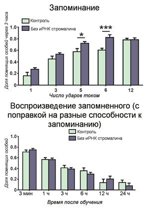 Рис. 3. Результаты обучения дрозофил с «выключенным» геном стромалина и насекомых из контрольной группы
