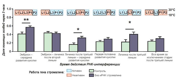 Рис. 4. Влияние периода «выключения» гена стромалина РНК-интерференцией на способность дрозофил к запоминанию
