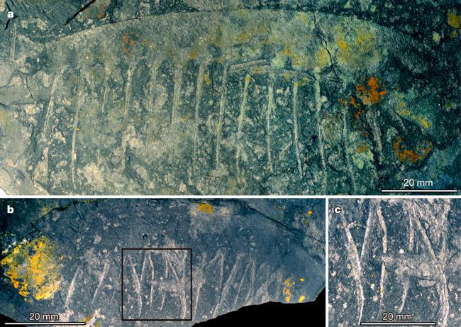 Рис. 2. Два экземпляра конечностей Tamisiocaris