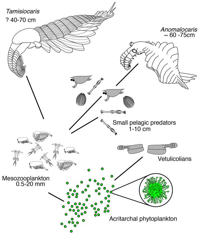 Рис. 5. Пищевая цепь в кембрийском планктоне
