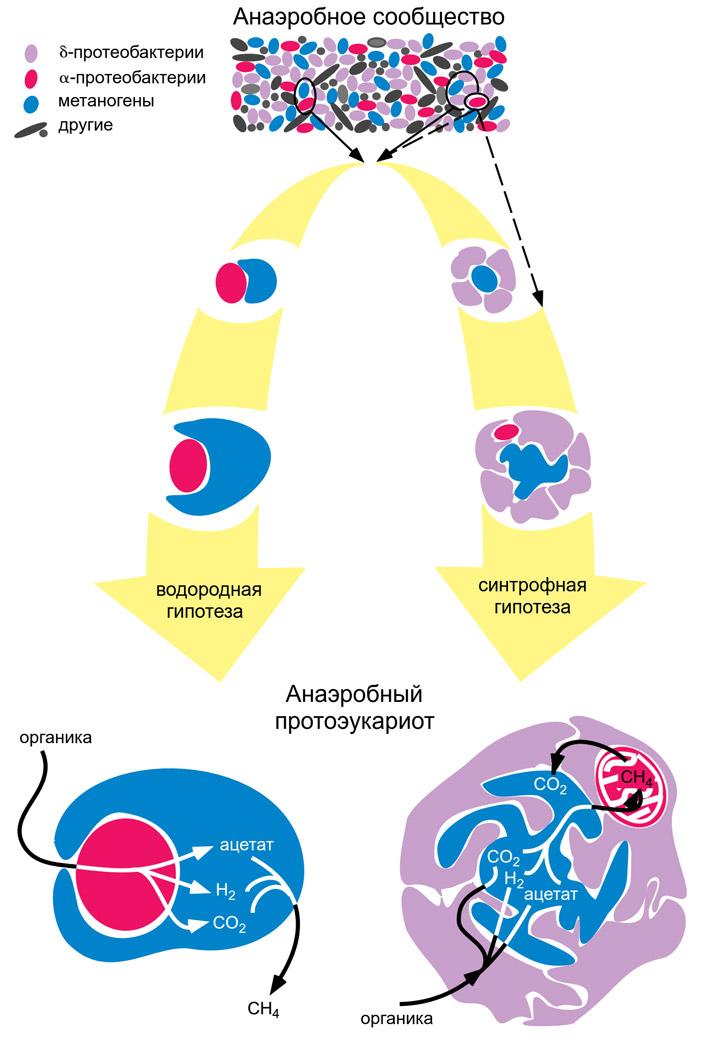 Предложена новая гипотеза происхождения эукариот