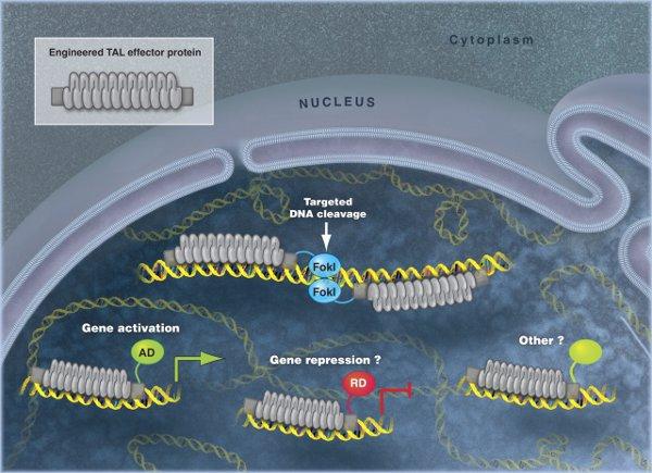 Рис.1. Схема работы и области применения TAL-белков. ДНК-связывающий участок TAL-белка изображен серым, ввиде комплекса из нескольких нуклеотид-узнающих единиц. Комбинируя такие единицы, можно заставить TAL связаться слюбой последовательностью вгеноме