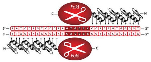 Рис.2. Схема, изображающая работу цинковопальцевой нуклеазы. Участки «цинковых пальцев» (серые) подобраны так, чтобы узнавать последовательности с обеих сторон отместа, куда требуется внести разрыв. Это необходимо, чтобы нуклеазаFokI могла разрезать ДНК (она работает вформе димера)