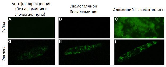 Фоссилизации мягкотелых организмов способствуют молекулы межклеточной адгезии