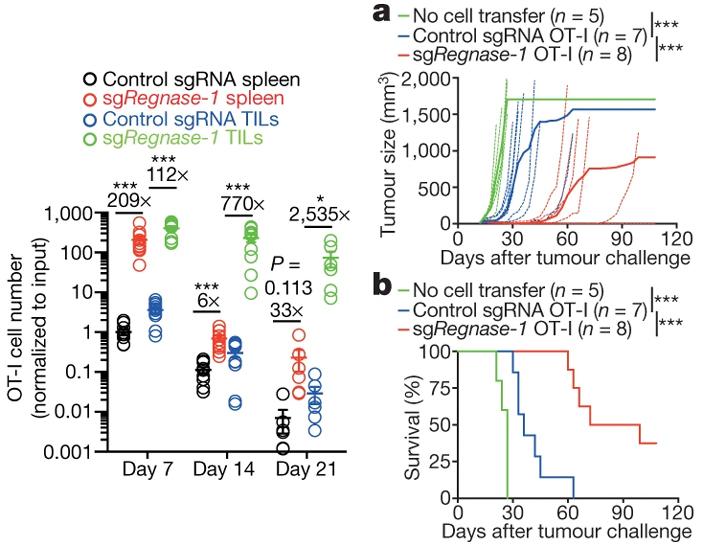 Рис. 2. Эффективность CAR-T-клеточная терапия лимфоцитами с выключенным геном Regnase-1