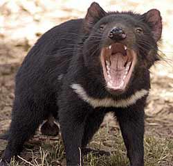 http://elementy.ru/images/news/tasmanian_devil_250.jpg
