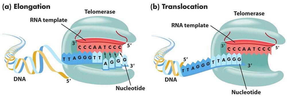 Схема работы фермента теломеразы (telomerase).  Фермент наращивает концевые участки хромосом, добавляя к ним...