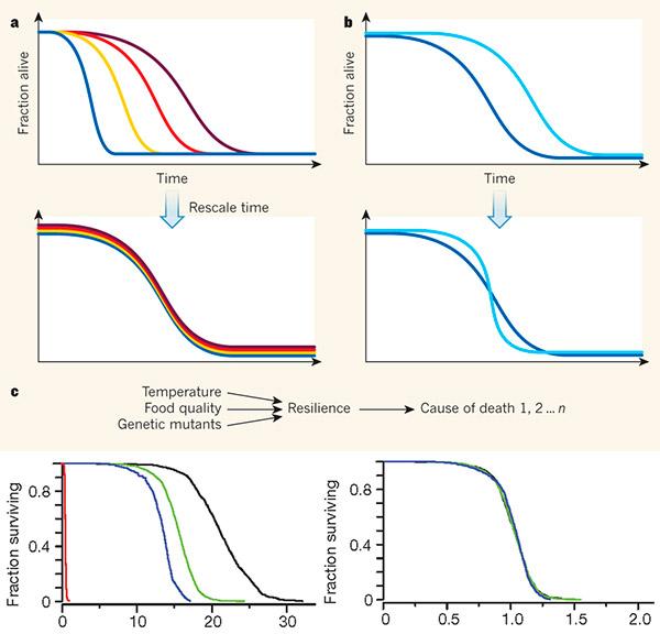 Рис. 2. Большинство факторов, влияющих на продолжительность жизни C. elegans, не меняют форму кривой выживания
