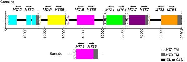 Рис.2. Схема, изображающая расположение генетических кассет, определяющих пол инфузории, в микроядре (верхняя часть, germline) и вмакроядре (нижняя часть рисунка, somatic), вслучае для пола №VI.
