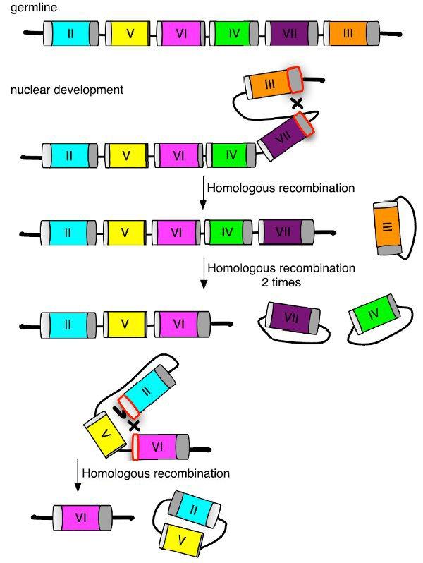 Рис.3. Предполагаемая модель выбора «пола» при созревании макроядра из микроядра после полового процесса.
