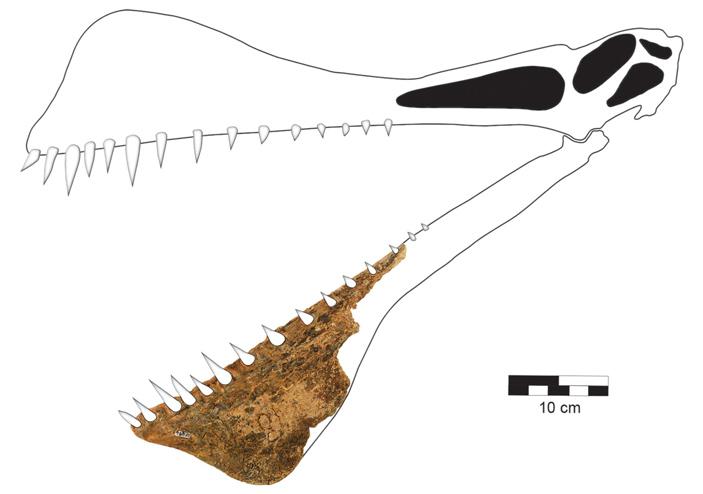 Найденный фрагмент челюсти таппунгаки