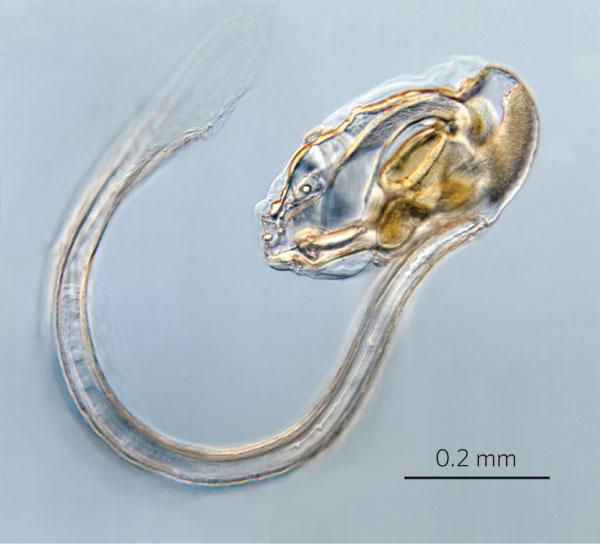 Рис. 1. Молодая аппендикулярия Oikopleura dioica
