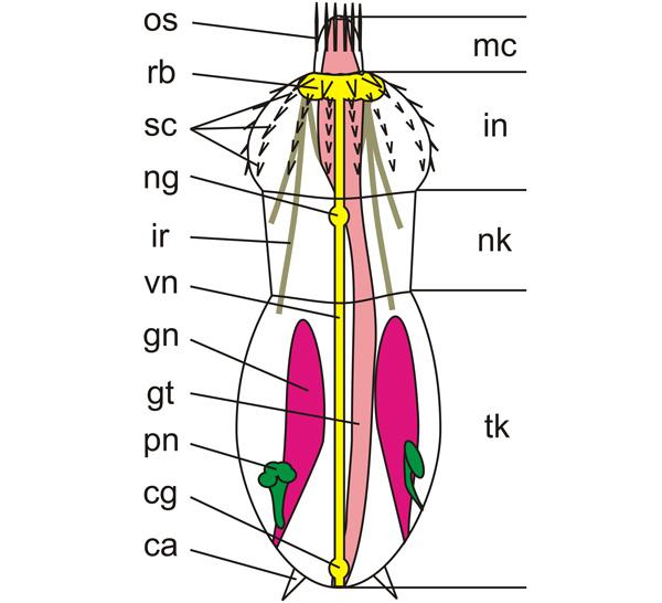 Рис. 2. Схема строения тела Scalidophora