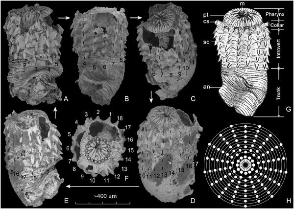 Рис. 3. Морфология Eopriapulites sphinx