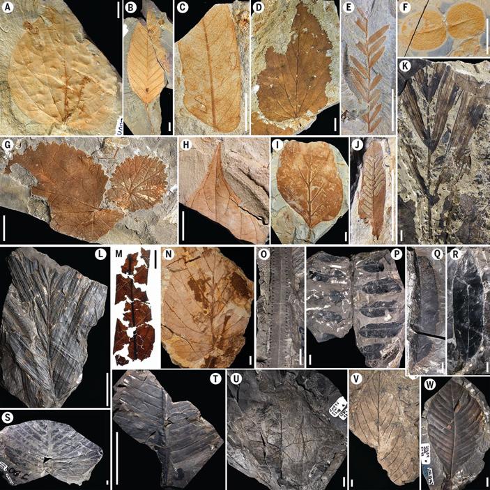 Ископаемые листья палеоценового (A–K) и маастрихтского (L–W) тропического дождевого леса. C, E, J — представители семейства бобовых.