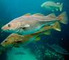 Перевылов трески привел к увеличению разнообразия рыб