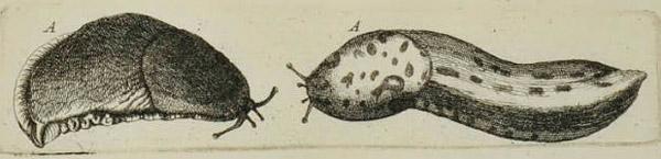 Одно из первых научных изображений слизней в Британии