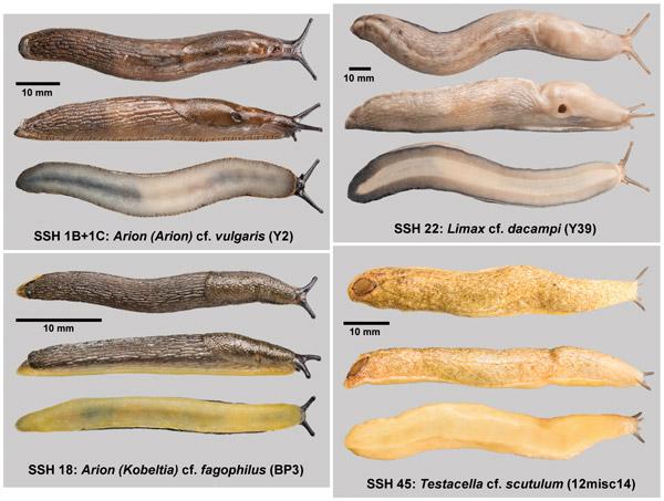 Четыре новых вида слизней