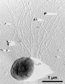Thermococcus— один из характерных обитателей горячих глубинных слоев земной коры. Предпочитает температуру от 60 до 100°C. На одном из полюсов клетки находится пучок длинных жгутиков (как и у родственного Pyrococcus). Фото с сайта microbewiki.kenyon.edu
