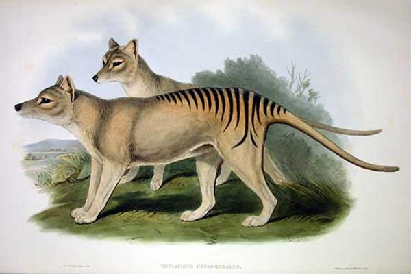 Тилацин (сумчатый волк), обитавший ранее на острове Тасмания. Вид был полностью истреблен человеком к 1930-м годам