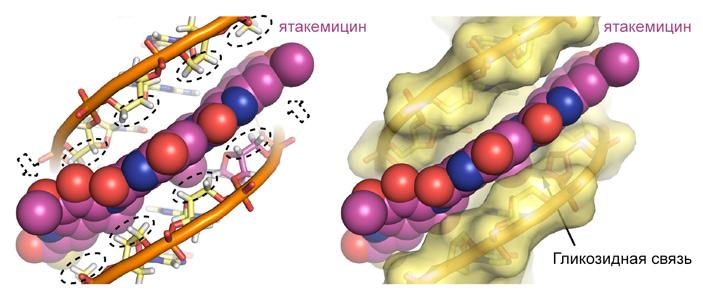 Модель связывания молекул ятакемицина и ДНК