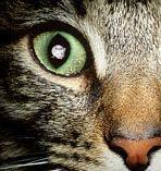 Чтобы попасть к своему окончательному хозяину— кошке— паразит токсоплазма прибегает к невероятным ухищрениям, изменяя даже психику человека (фото с сайта www.medzone.ru)