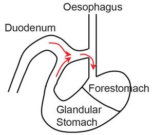 Рис. 3. Схема анастомоза между двенадцатиперстной кишкой и пищеводом мыши