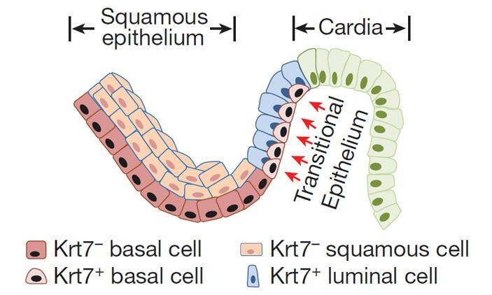 Рис. 4. Предшественники базальных клеток и люминальные клетки эпителия пограничной области пищевод/желудок