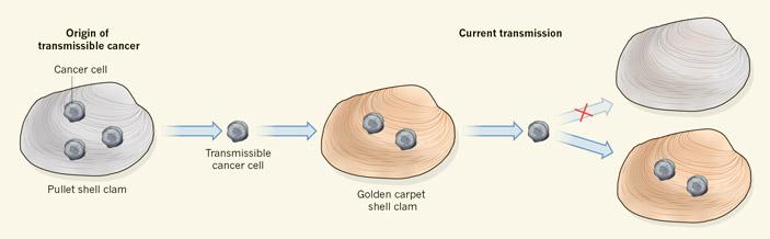 Вероятная схема распространения рака среди моллюсков