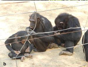 Рис. 5. Шимпанзе-модницы