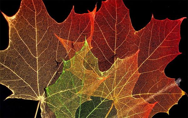 Увеличенное фото кленового листа