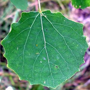Лист обыкновенной осины (Populus tremula). Хорошо видны жилки разного порядка. Фото с сайта ru.wikipedia.org