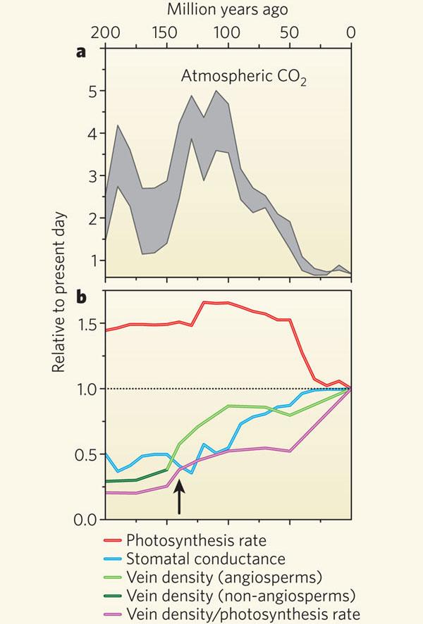 a— изменение содержания СО2 ватмосфере за последние 200млн лет. b— изменения относительно современного уровня(1.0): скорости фотосинтеза (красная линия), проводимости устьиц (голубая линия), плотности жилкования у покрытосеменных (светло-зеленая линия) и других групп сосудистых растений (темно-зеленая линия), отношения плотности жилкования к скорости фотосинтеза (фиолетовая линия). Рис. из обсуждаемой статьи Beerling, Franks, 2010// Nature. V.464. P.495–496