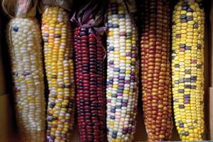 «Прыжки» транспозонов придают причудливую окраску кукурузным початкам. Фото PIXFOLIO/ALAMY из статьи: Christian Biémont and Cristina Vieira. Genetics:Junk DNA as an evolutionary force// Nature. V.443. P.521–524 (5October 2006)