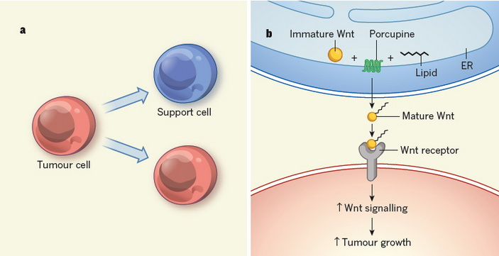 <b>Рис.1.</b> Схема формирования и взаимодействия опухолевых клеток и их ниши