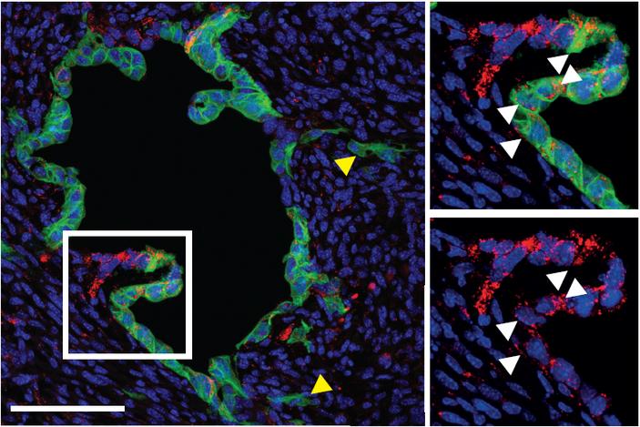 <b>Рис.4.</b> Прослеживание судьбы Lgr5<sup>+</sup> клеток, меченых геном зеленого флюоресцирующего белка