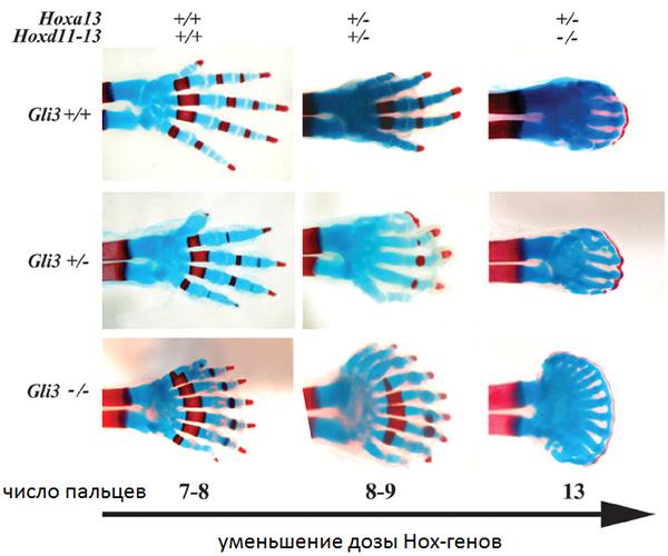 Рис.1. Пальцы передней конечности новорожденных мышат сразными наборами отключенных генов-регуляторов