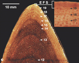 Срез ребра тираннозавра с четко выраженными слоями годового прироста. Цифры указывают год жизни. Наиболее активный рост был в 14-19лет. Затем он резко замедлился. Это видно на вставке справа вверху, где линии после 19лет идут очень тесно друг к другу (соответствующий участок помечен как EFS). Рисунок из статьи Erickson etal. 2004. Gigantism and comparative life-history parameters of tyrannosaurid dinosaurs // Nature. V.430. P.772-775