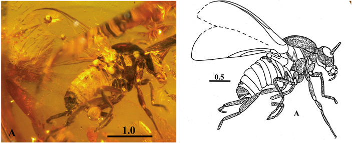 Рис. 2. Мошка Ugolyakia kaluginae из верхнемелового таймырского янтаря