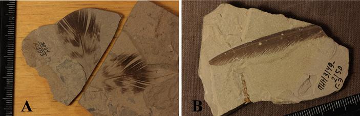 Рис. 4. Птичьи перья, найденные в меловых отложениях Бурятии и Монголии