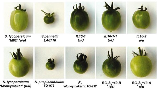Сорта томатов, использовавшиеся для генетического картирования: два равномерно созревающих сорта сгенотипомu/u (M82 и Moneymaker), два диких родственника культурных томатов (Solanum pennellii и S.pimpinellifolium) и их гибриды