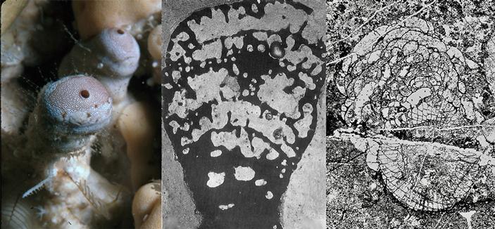 Рис. 2. Современная обыкновенная губка васлетия
