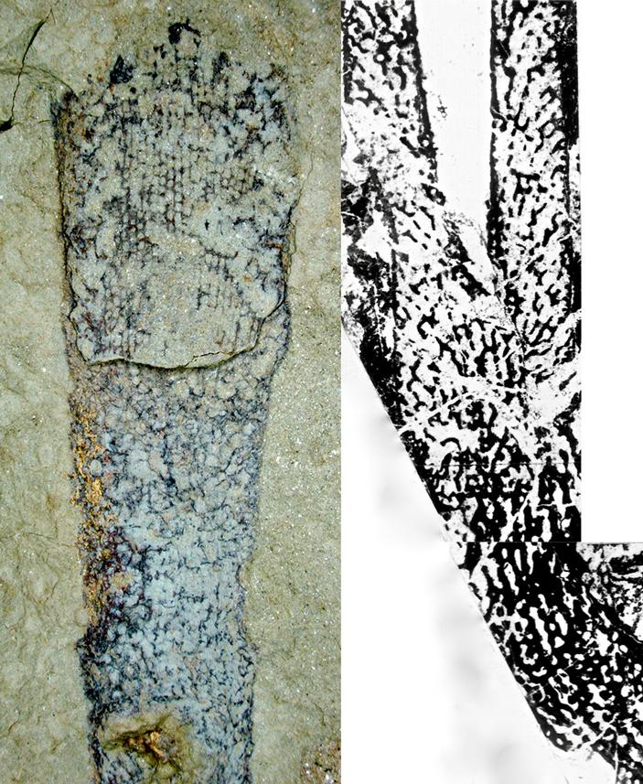 Рис. 3. Раннекембрийские губки