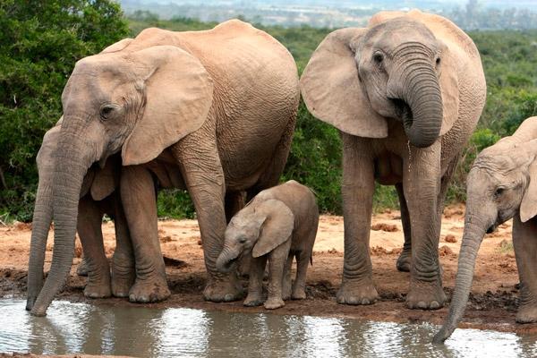 Рис. 2. Базовая единица социальной структуры у африканских слонов
