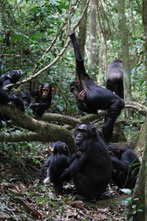 Шимпанзе из сообщества Сонсо, обитающие влесу Будонго
