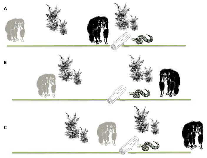 Рис. 2. Схема эксперимента, в котором изучалась зависимость поведения шимпанзе, увидевшего змею, от осведомленности сородича