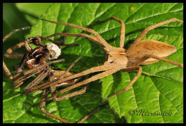 Самец паука Pisaura mirabilis соблазняет самку, предлагая ей «свадебный подарок», упакованный в яркий белый кокон из паутины